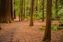Trees in a red wood forest royalty free stock photography
