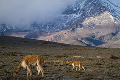 Beautiful landscape of vicugnas in Chimborazo Stock Photography