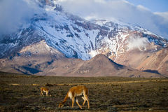 Beautiful landscape of vicugnas in Chimborazo Stock Photos