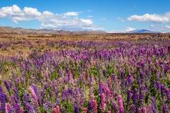 Beautiful landscape view of colorful lupin flowers, Tekapo, New Zealand Stock Photography