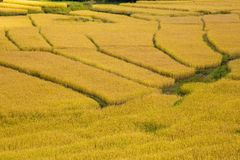 Mature paddy rice in Thailand stock photos