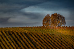 Beautiful landscape of vineyards and a tree in the sunset on a fall evening. Sunset on a hill with vineyards Stock Images