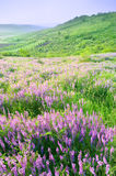 Beautiful landscape with violet flowers. Beautiful rural landscape with violet flowers Stock Image