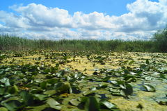 Beautiful landscape with water lilies of the Danube Delta, Romania Delta Dunarii Stock Photography