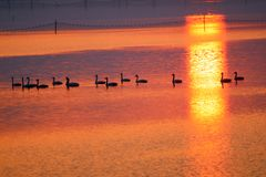 A team of swans in the  sunset Royalty Free Stock Image