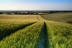 Beautiful landscape wheat field in bright Summer sunlight evenin Stock Photos