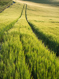 Beautiful landscape wheat field in bright Summer sunlight evenin Stock Photo