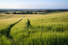 Beautiful landscape wheat field in bright Summer sunlight evenin Royalty Free Stock Photos