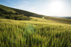 Beautiful landscape wheat field in bright Summer sunlight evenin Royalty Free Stock Images