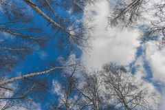 Beautiful landscape with white birches against blue sky. Birch trees in bright sunshine. Birch grove in autumn royalty free stock photos