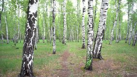 Beautiful landscape with white birches. Birch grove. Beautiful panorama. stock footage