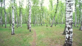 Beautiful landscape with white birches. Birch grove. Beautiful panorama. stock video footage