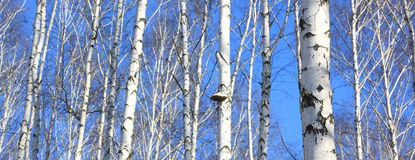 Beautiful landscape with white birches Royalty Free Stock Images