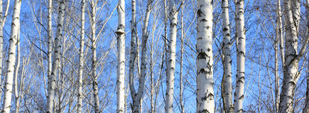 Beautiful landscape with white birches Stock Photos