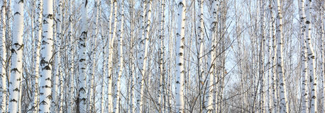 Beautiful landscape with white birches Royalty Free Stock Photography