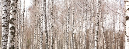 Beautiful landscape with white birches Stock Images