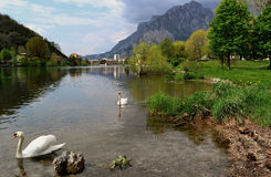 A beautiful landscape with white swans swimming near Lecco. Royalty Free Stock Images