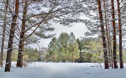 Beautiful landscape with winter pine forest in cold day Stock Photography