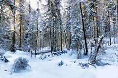 Beautiful landscape of the winter woodland with snow crowned fir trees. Beautiful landscape of the winter coniferous woodland with snow crowned fir trees royalty free stock photography