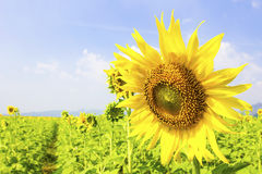 Free Beautiful Landscape With Sunflower Field Stock Photos - 53100973
