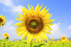 Free Beautiful Landscape With Sunflower Field Royalty Free Stock Photography - 53101077