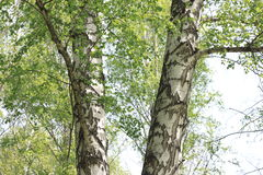 Free Beautiful Landscape With Young Juicy Green Birches With Green Leaves And With Black And White Birch Trunks In Sunlight Stock Photography - 91660502