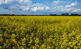 Beautiful landscape with yellow oilseed flowers Stock Photos