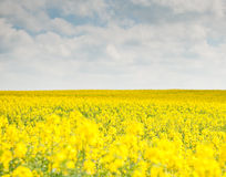 Beautiful landscape with yellow rapeseed field Royalty Free Stock Photo