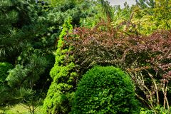Beautiful landscaped garden with evergreens. Example using purple barberry, green Picea glauca Conica and boxwood Buxu. S, Pinus parviflora Glauca. Selective royalty free stock images