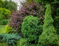 Beautiful landscaped garden with evergreens. Example using purple barberry, green Picea glauca Conica and boxwood Buxus. Juniper Juniperus squamata Blue carpet royalty free stock images