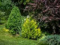 Beautiful landscaped garden with evergreens. Example using purple barberry, yellow needles of western thuja, juniper. Juniperus squamata Blue carpet and boxwood stock photo