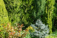 Beautiful landscaped spring sunny garden with lot evergreens. Example using Picea glauca Conica with Silver blue spruce. Picea pungens Hoopsii, western thuja stock image