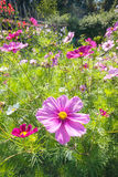 Beautiful landscaped summer garden, cosmos, flowers Royalty Free Stock Images
