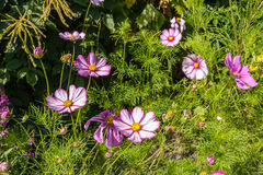 Beautiful landscaped summer garden, cosmos, flowers Royalty Free Stock Image