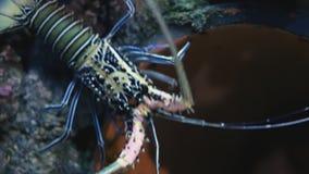 Beautiful langouste multicolore in tank at aquarium. Painted spiny lobster - panulirus versicolor. Having fun watching marine animals. Enjoying learning about stock video