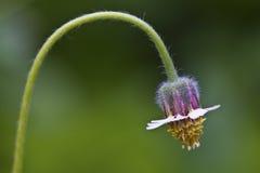 Beautiful Lantern flower Stock Photo