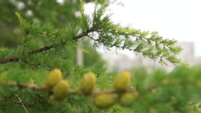 Beautiful Larch cones and branch stock footage