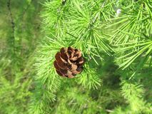 Beautiful Larch cones and branch with green background stock images