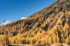 Beautiful larch forest in fall in thew Swiss Alps with snowy mountains behind royalty free stock photos
