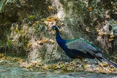 A beautiful and large bird is a peacock in the valley of seven springs. Rhodes Island, Greece royalty free stock image