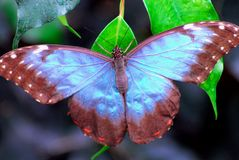 Costa Rica- Blue Morpho Butterfly stock photography