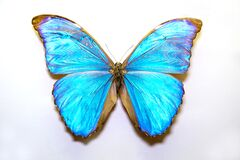 Beautiful large bright butterfly Morpho menelaus turquoise-neon isolated on a white background. The idea of the design concept wit