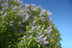 Beautiful and large bush of blooming lilacs Stock Photography