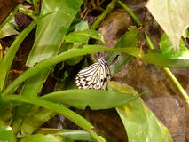 Beautiful large butterfly perched on a leaf. Beautiful large black and white butterfly perched on a leaf Stock Photos