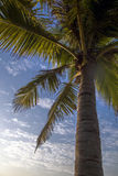 Beautiful large coconut tree Stock Images