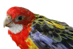 Beautiful large colorful parrot Royalty Free Stock Photos