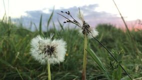 Beautiful large dandelion in a field which blows. Away wind stock video