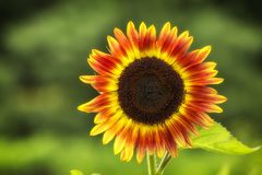 Beautiful large decorative sunflower with big Yellow and red petals.  royalty free stock image