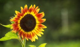 Beautiful large decorative sunflower with big Yellow and red petals.  stock photo