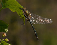 Beautiful large dragonfly, Cordulia aenea. Stock Photos